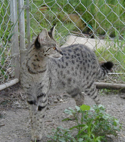 Savannah Cat Queens | savannah kittens for sale | savannah